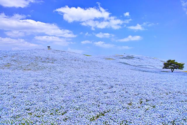 National Hitachi Seaside Park, where Nemophila blooms in spring | JAPANBOX