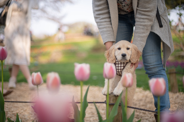 Spring tulips and golden puppies at Showa Memorial Park | JAPANBOX